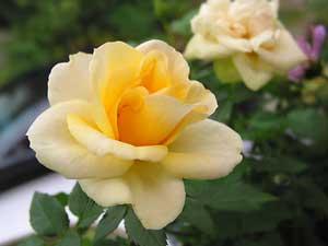 rosa_amarilla