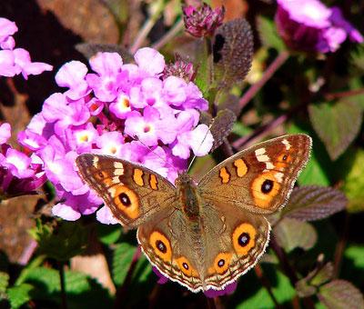 mariposa_lantana.jpg