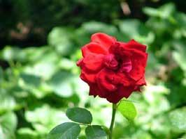 rosa_rosae